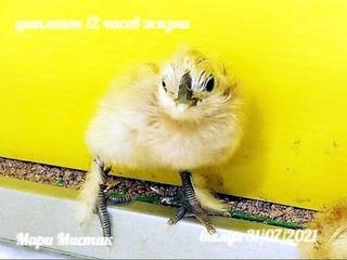 Цыплята ВИАНДОТ и ШЁЛКОВЫХ курочек ВОЗРАСТ меньше 1 суток / Инкубация породистых кур / Мари Мистик