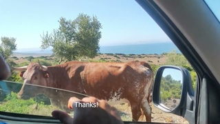Cow Gives Passersby Some Good Directions    ViralHog