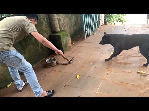 Lấy que vụt bắt rắn có chó đen yểm trợ nào ngờ nó hung dữ đến thế Human with dog Catch King snake