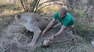 Мама Чоли защищает детей от львенка Фили