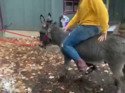 Ponyboy For mini Donkey Jack