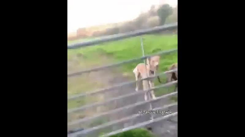 Это не пёс а вертолёт какой то хвост вместо пропеллера