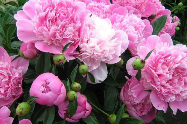 Чтобы пион обильно цвел Пион - настоящее украшение сада, им можно бесконечно любоваться. Но только если он хорошо и обильно цветет. Это получается не у всех. Как добиться пышного цветения,