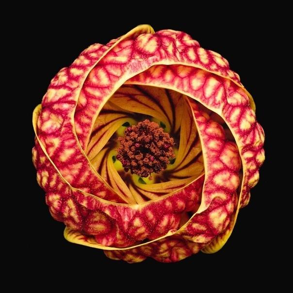 Цветение вортекса Фото: Бруно Милителли
