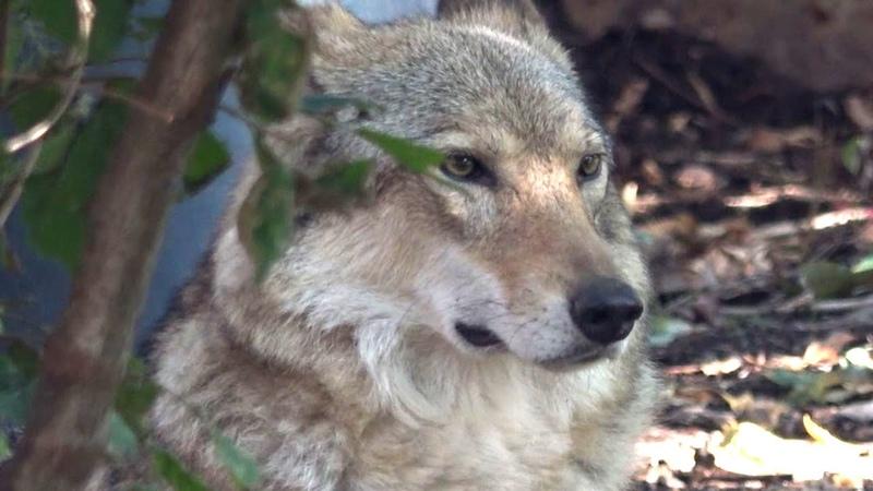 Европейский волк Московский зоопарк European wolf Moscow zoo 狼 le loup オオカミ El lobo 늑대 भेड़िया الذئب