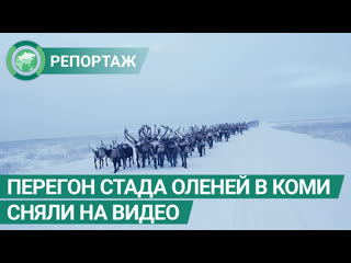 Перегон стада оленей в Коми сняли на видео. ФАН-ТВ