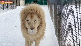 Две болтушки, две подружки - львицы-говорушки. Львы. Тайган. Lions life in Taigan.