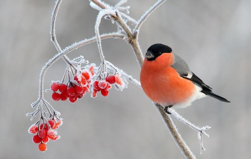 Домашнее задание по теме: «Трудно птицам зимовать. Надо птицам помогать!» (зимующие птицы, забота людей о зимующих птицах), изображение №1