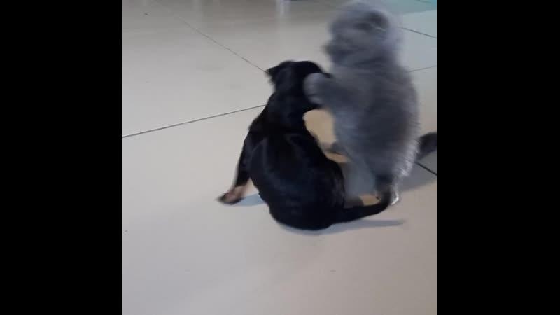 Братская душа✊Шотландский котенок и той терьер
