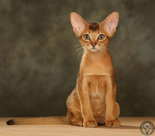 Абиссинская кошка Абиссинская кошка порода домашних кошек, выведенная в Великобритании в конце девятнадцатого века на основе аборигенных пород кошек Африки и Юго-Восточной Азии. Абиссинская -