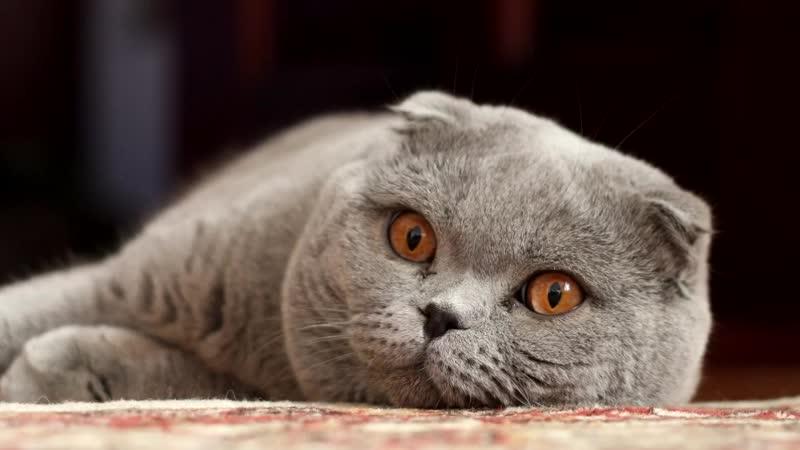 #Шотландская #вислоухая кошка - описание породы