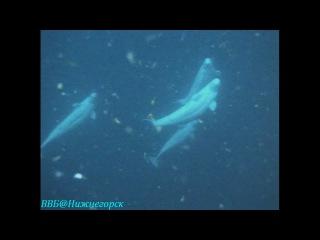 BBC «Чудеса живой природы (1) - Великие путешествия» (Документальный, 1996)