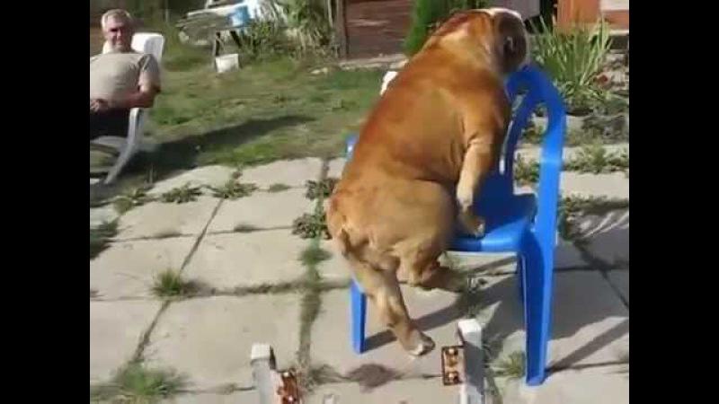 собака качок МАМиЯК