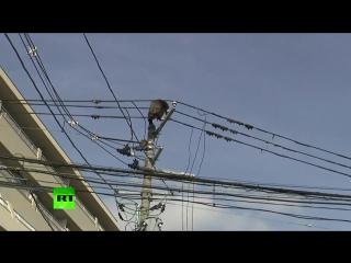 Японский шимпанзе сбежал из зоопарка и гулял по линиям электропередач - Dramatic high-altitude chase as chimp goes on the loose