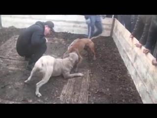 Собачьи бои питбуль Ardaks William () vs Rustams Spike (40kg) Спайк чемпион