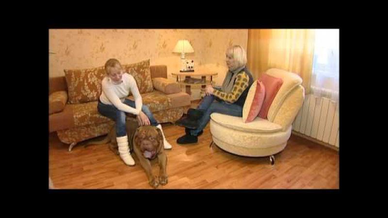Бордоский дог все о породе собак