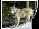 Волчья Лезгинка