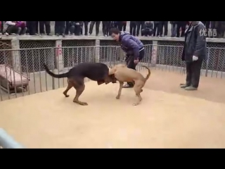 Питбуль vs китайская красная овчарка (fighting dogs) собачьи бои pitbull против chinese red shepherd