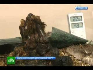 Сенсация На Ямале обнаружили доисторическую МУМИЮ