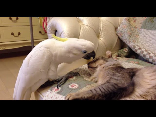 Funny Parrots Annoying Cats Compilation 2016 || NEW HD