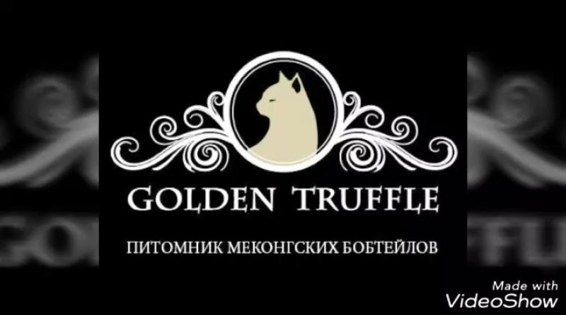 Меконгский бобтейл. Golden Truffle.