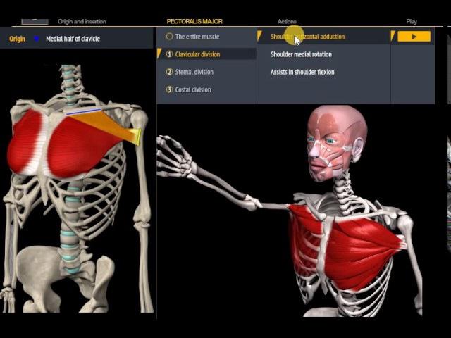 Анатомия Большая грудная мышца Функции начало крепление