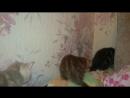 Радуга окрасов британских кошек Питомник Consummate г Новосибирск