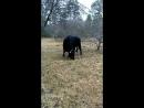Верблюд Гриша бык Рембо и Ячка Маруся на прогулке Зоостудия Ковчег Аренда 8 926 345 88 66