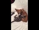 Викинг со щенком magicbengland bencats bengal