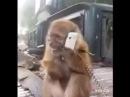 Monyet Lucu Ngakak Kocak Terbahak Bahak Sambil Teriak Teriak
