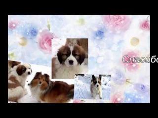 Смешные собаки. Шелти Луша и щенки московской сторожевой.