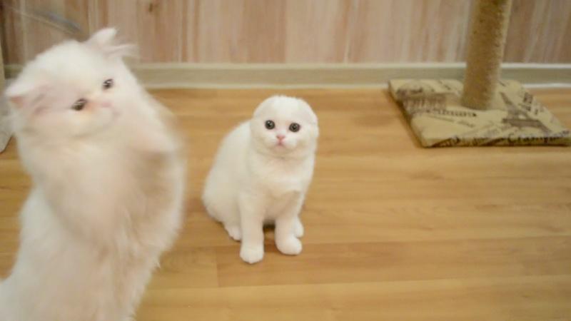 Кошки, окрас w 62 (белая с оранжевыми глазами)