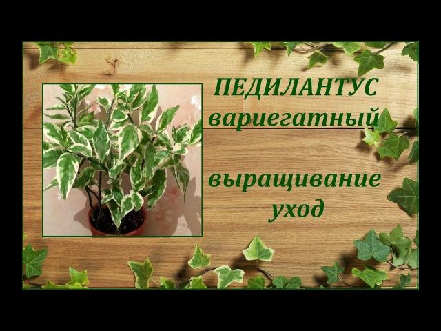 Педилантус титималоидный вариегатный выращивание уход