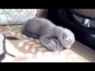 Продан,шотландский вислоухий  котик Riddik