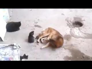 Кошка знакомит котят с собакой