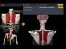 Большая и малая ромбовидная мышца Анатомия для мам
