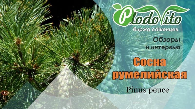 Румелийская сосна I Pinus peuce