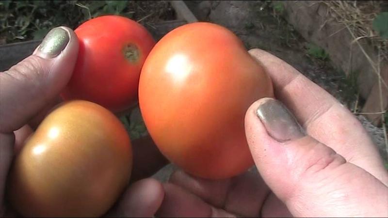 сорт томата Белый налив 241