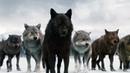 Суперхищник! Черные волки. super predator, black wolves 2019 HD