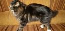Яков Бобкет-Орел,  кот чистокровный курильский бобтейл, черный мрамор с белам, приходит на имя , воз