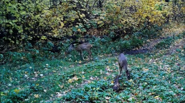 Семейство косуль попалось в фотоловушку на территории Липецкой области — Изображение 1