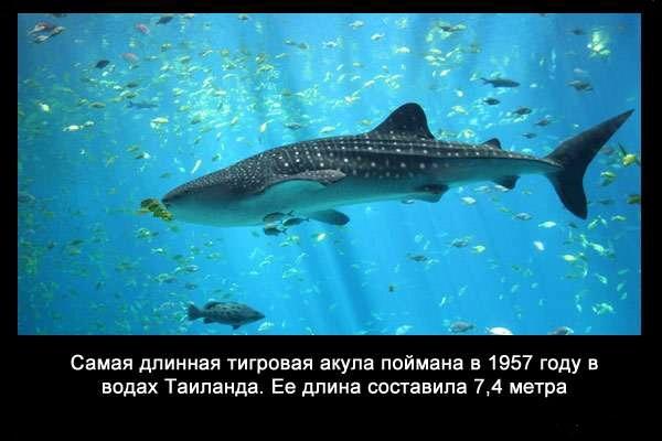 Valteya - Интересные факты о акулах / Хищники морей.(Видео. Фото) - Страница 2 BZCxuVWRTx8