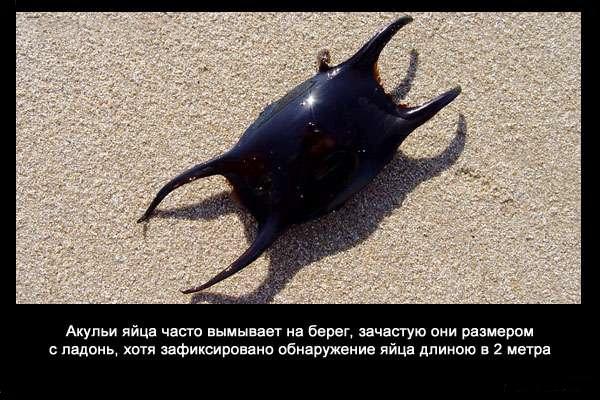 Valteya - Интересные факты о акулах / Хищники морей.(Видео. Фото) - Страница 2 9JQPKTZiJyw
