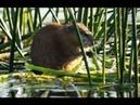 Видео о природе : водяная крыса