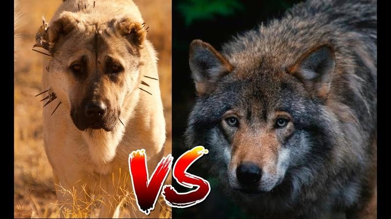 Un Kangal y un Lobo| Que opinan sobre este video