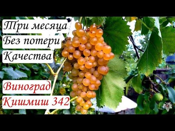 Виноград который может висеть до морозов не теряя качества