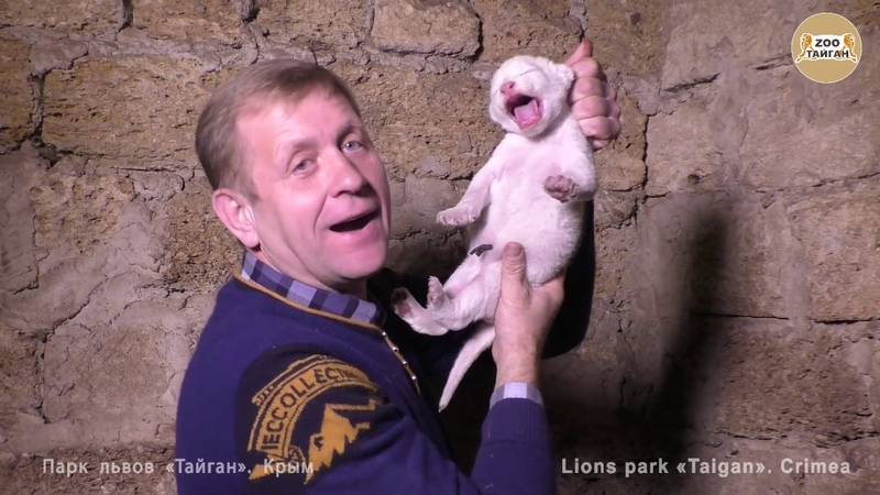 Придумайте имена малышам белым львятам Тайган Think of names for white lion cubs Taigan