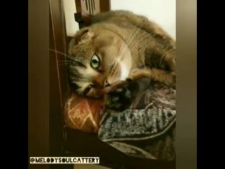 Питомник шотландских кошек. Вислоухие котята. Казань