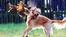 TIME TO RELAX ★ Epic Battle Between Naughty Dogs and Chickens ★ Funny Babies and Pets