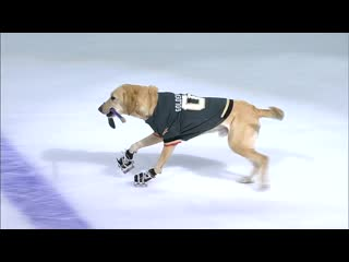 Dog on skates puts on a show at golden knights and flames game